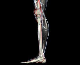 Leg Bones, Arteries and Veins (XXL)